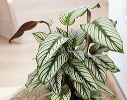 The zebra plant (marantaceae) ( syn Calathea White Star )