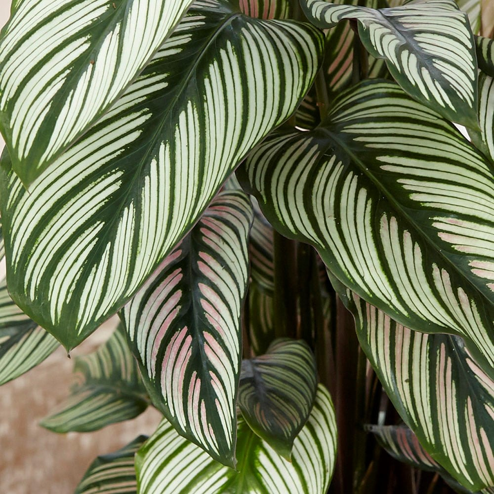 Buy The Zebra Plant Marantaceae Calathea White Star 163 19