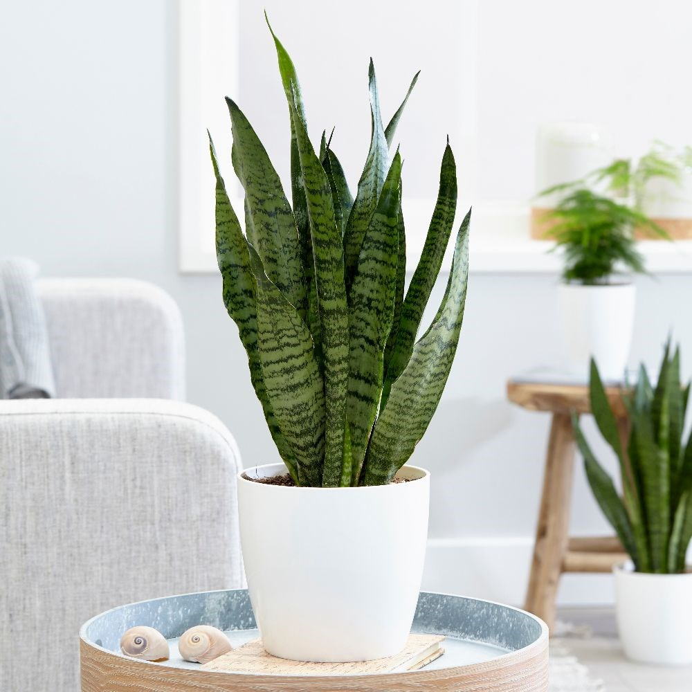 buy mother in law 39 s tongue snake plant sansevieria zeylanica delivery by crocus. Black Bedroom Furniture Sets. Home Design Ideas