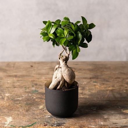 Ficus microcarpa Ginseng