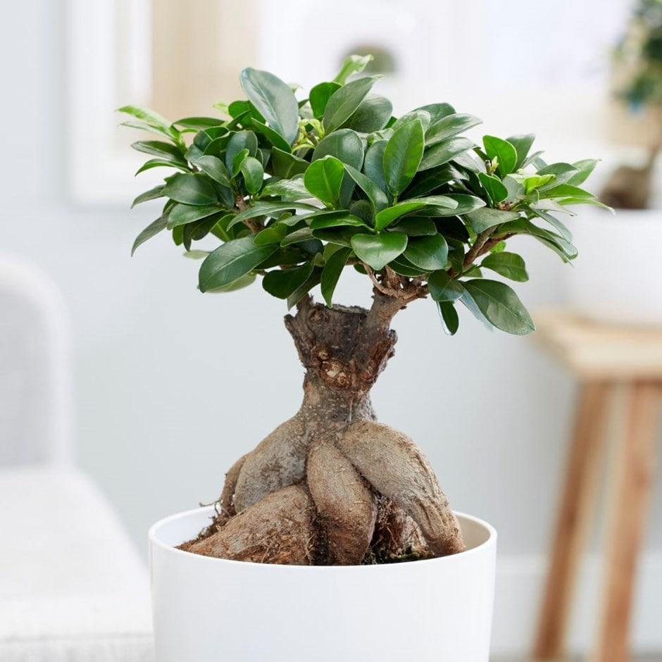 Buy Bonsai Ficus Ficus Microcarpa Ginseng Delivery By Waitrose Garden