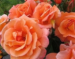 Rose of the year 2017 - rose Scent from Heaven (climbing)