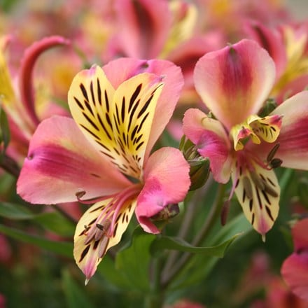 Alstroemeria Cahors (Planet Series)