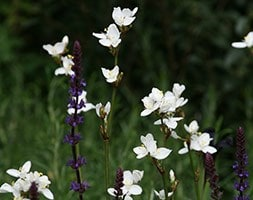 libertia  (syn Libertia grandiflora )
