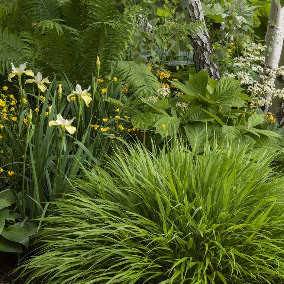 Buy hakonechloa hakonechloa macra delivery by crocus for Japanese ornamental grass