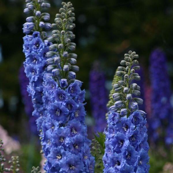 Delphinium Blue Lace (New Millennium Series)