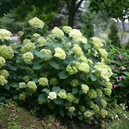 Hydrangea arborescens Lime Rickey ('Smnhalr') (PBR