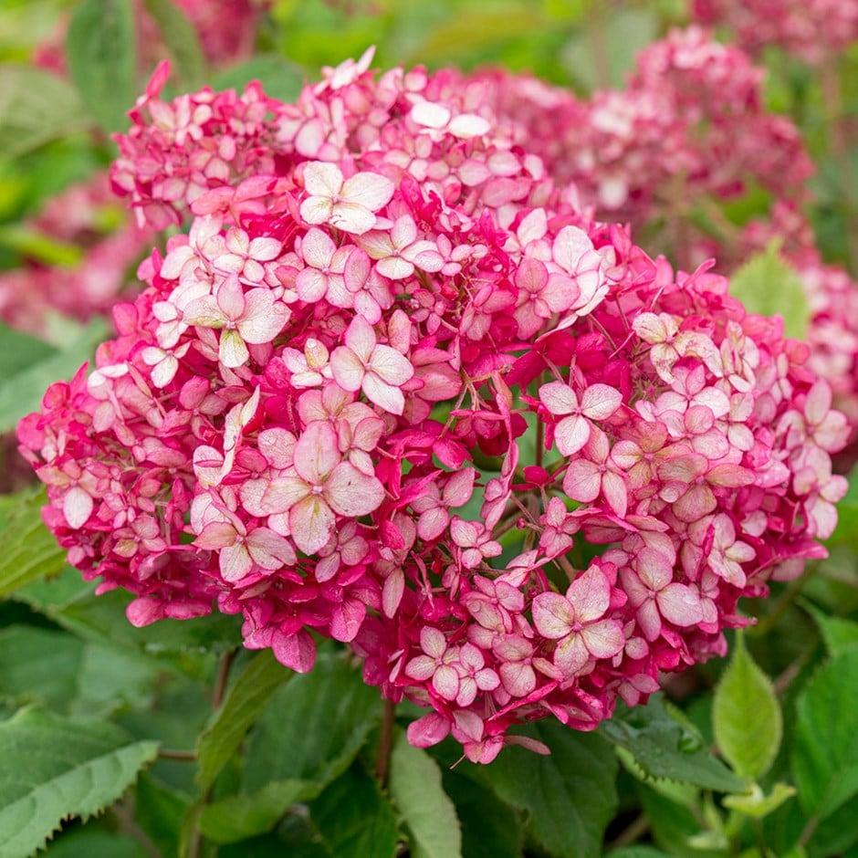 Hydrangea arborescens ruby annabelle ('Ncha3') (PBR)