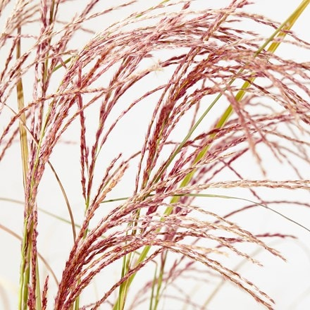 Miscanthus sinensis Red Cloud ('Emphis01') (PBR)