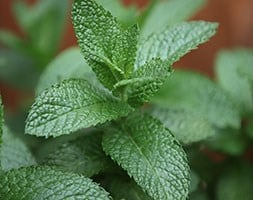 English lamb mint / Mentha spicata 'English Lamb'