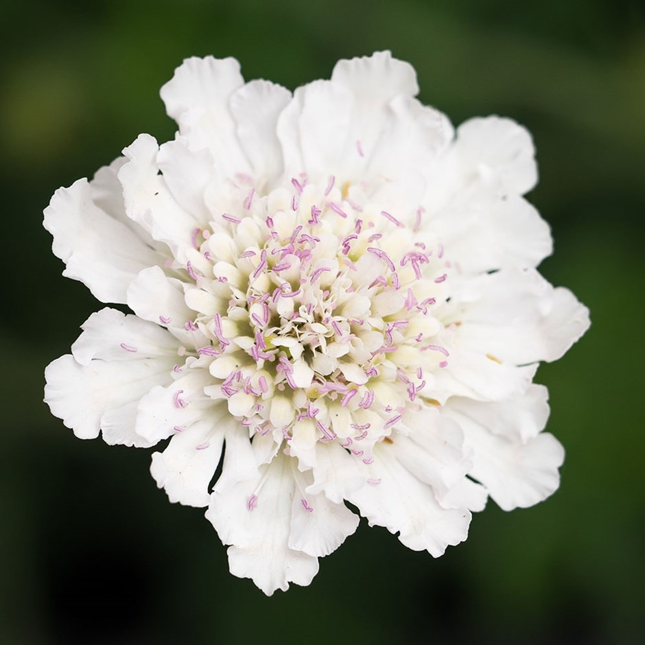 Buy Pincushion Flower Scabiosa Incisa Kudo White 639 Delivery By