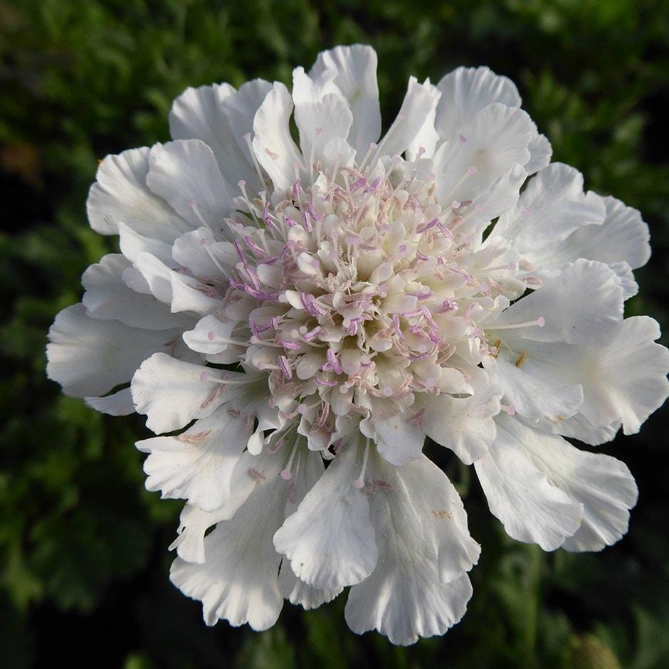 Buy Pincushion Flower Scabiosa Incisa Kudo White