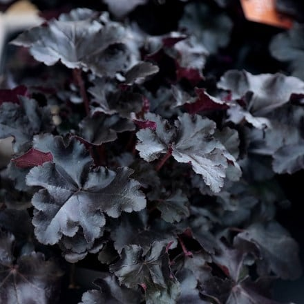 Heuchera Black Pearl (PBR)