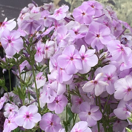Phlox Fashionably Early Lavender Ice