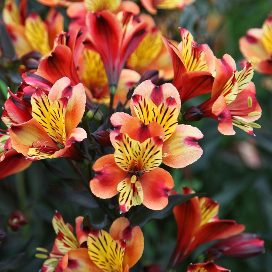buy peruvian lily alstroemeria indian summer 39 tesronto 39 pbr delivery by crocus. Black Bedroom Furniture Sets. Home Design Ideas