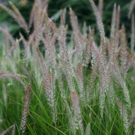 Pennisetum Fairy Tails