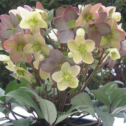 Helleborus × ballardiae Candy Love (PBR)