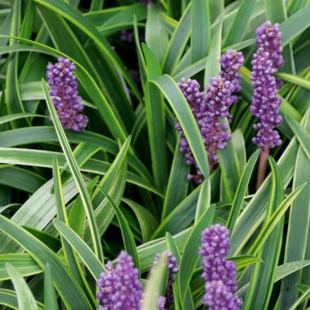 Liriope muscari Gold-banded