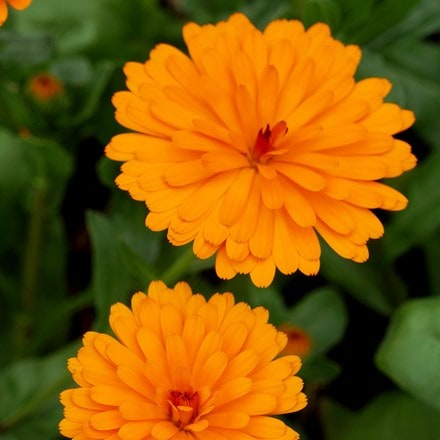 Calendula Winter Wonders Peach Polar ('2012391D') (PBR) (Winter Wonders Series)