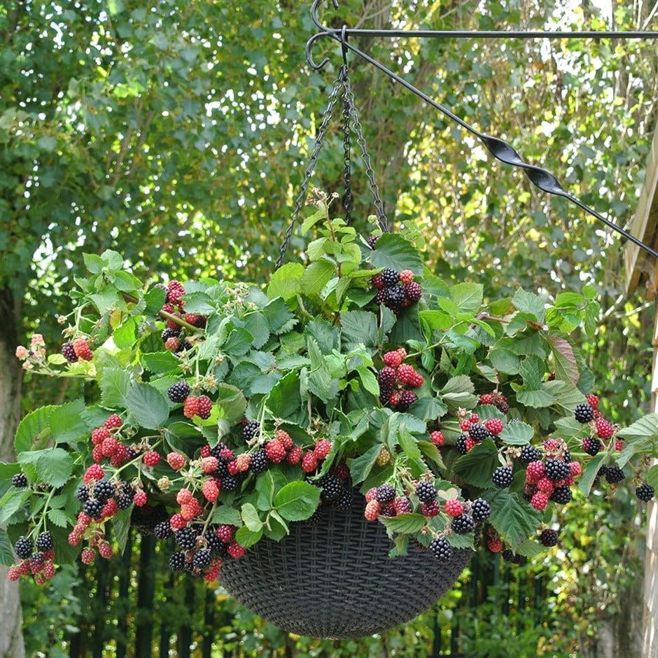 blackberry / Rubus fruticosus 'Dart's Black Cascade'