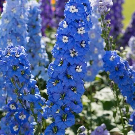 Delphinium Aurora Blue (Aurora Series)