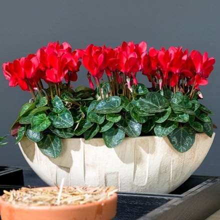 Cyclamen SS Verano Red