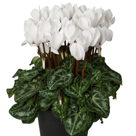 Cyclamen persicum Winfall White ('Synwinfwhi') (Winfall Series)