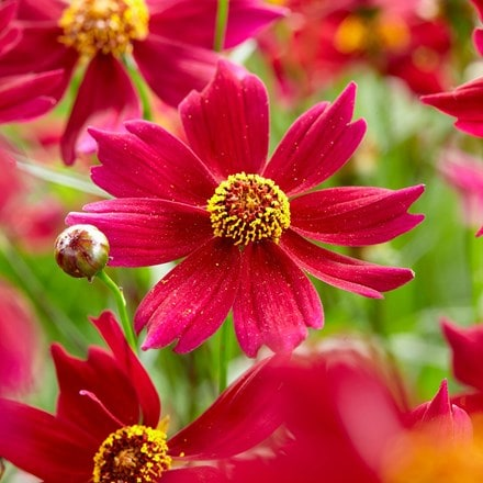 Coreopsis rosea Bloomsation Dragon ('URIBL01') (PBR)
