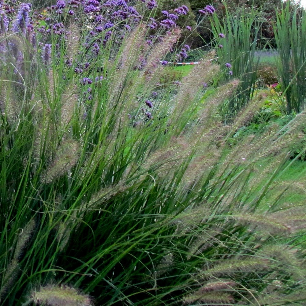 Buy fountain grass pennisetum alopecuroides hameln for Fountain grass