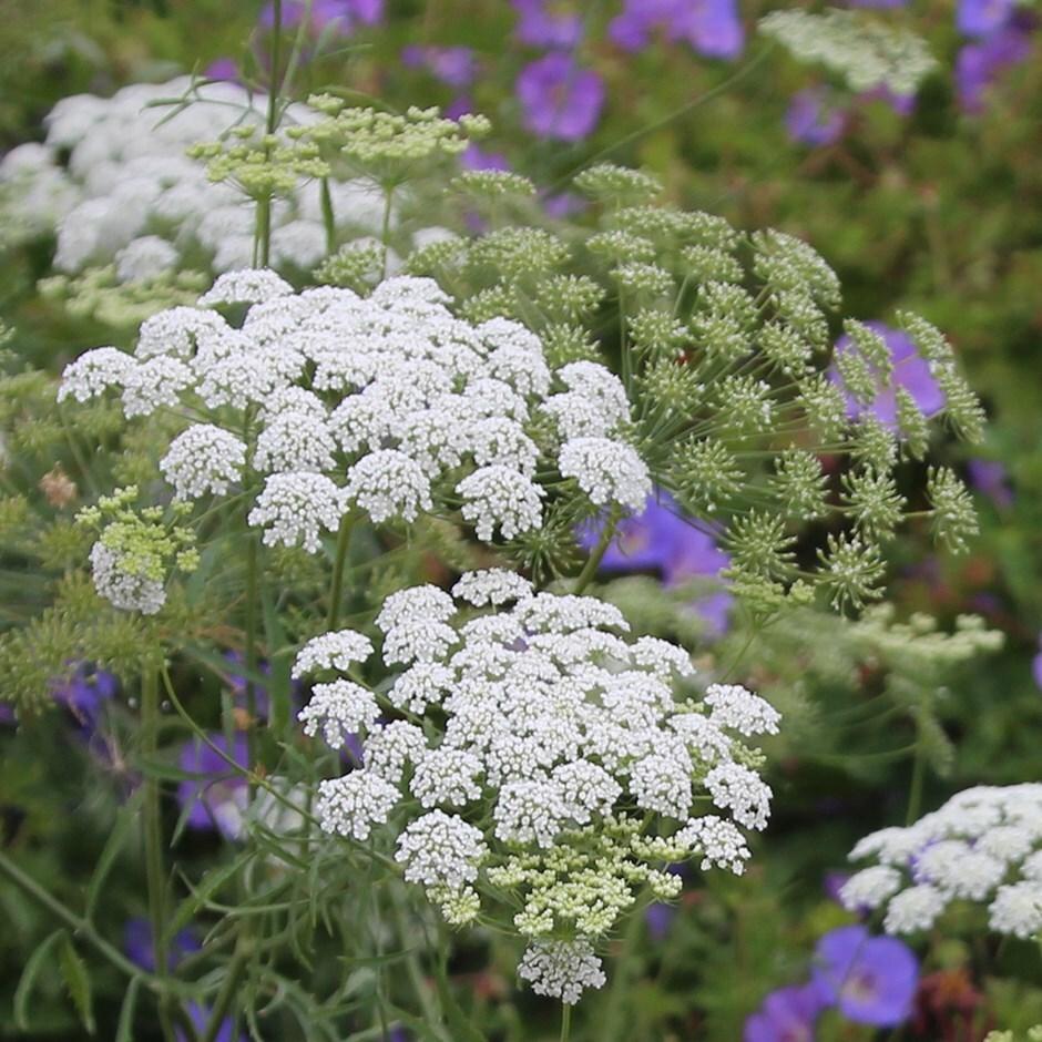 false bishop's weed 'Graceland'