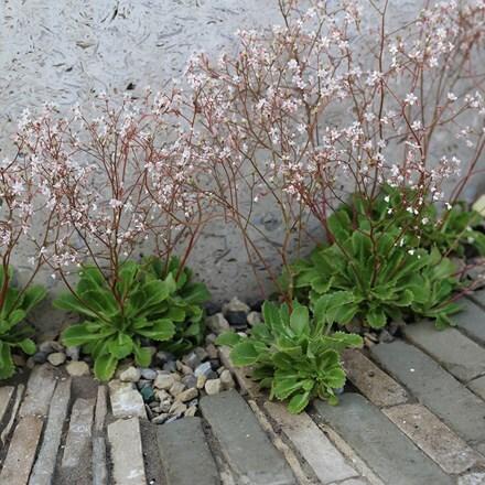 Saxifraga × urbium