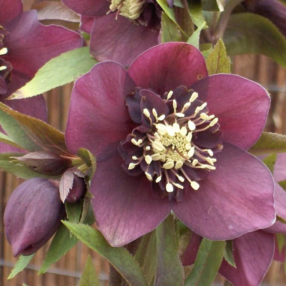 lenten rose  / hellebore