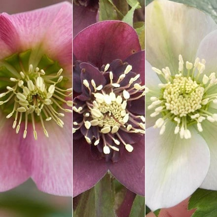 Helleborus × hybridus Pretty Ellen collection