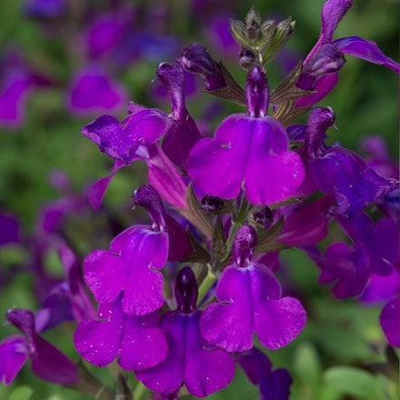 Salvia Mirage Deep Purple
