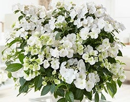 RHS Chelsea Flower Show Plant of the Year 2018 - garland hydrangea