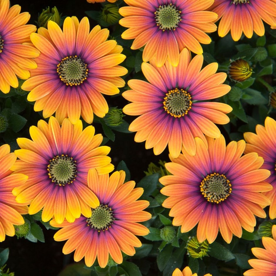 Purple Daisy Flower: Buy African Daisy Osteospermum Purple Sun: £6.99 Delivery