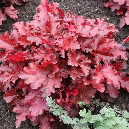 Heuchera Forever Red (Forever Series)