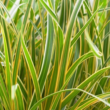 Carex morrowii Everglow (PBR) (EverColor Series)