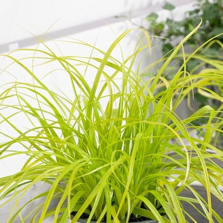 Carex oshimensis Everillo (PBR) (Evercolor Series)
