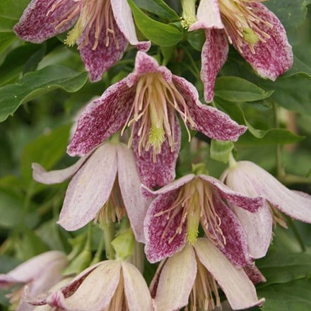 Clematis Advent Bells