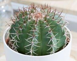 dwarf turks-cap cactus
