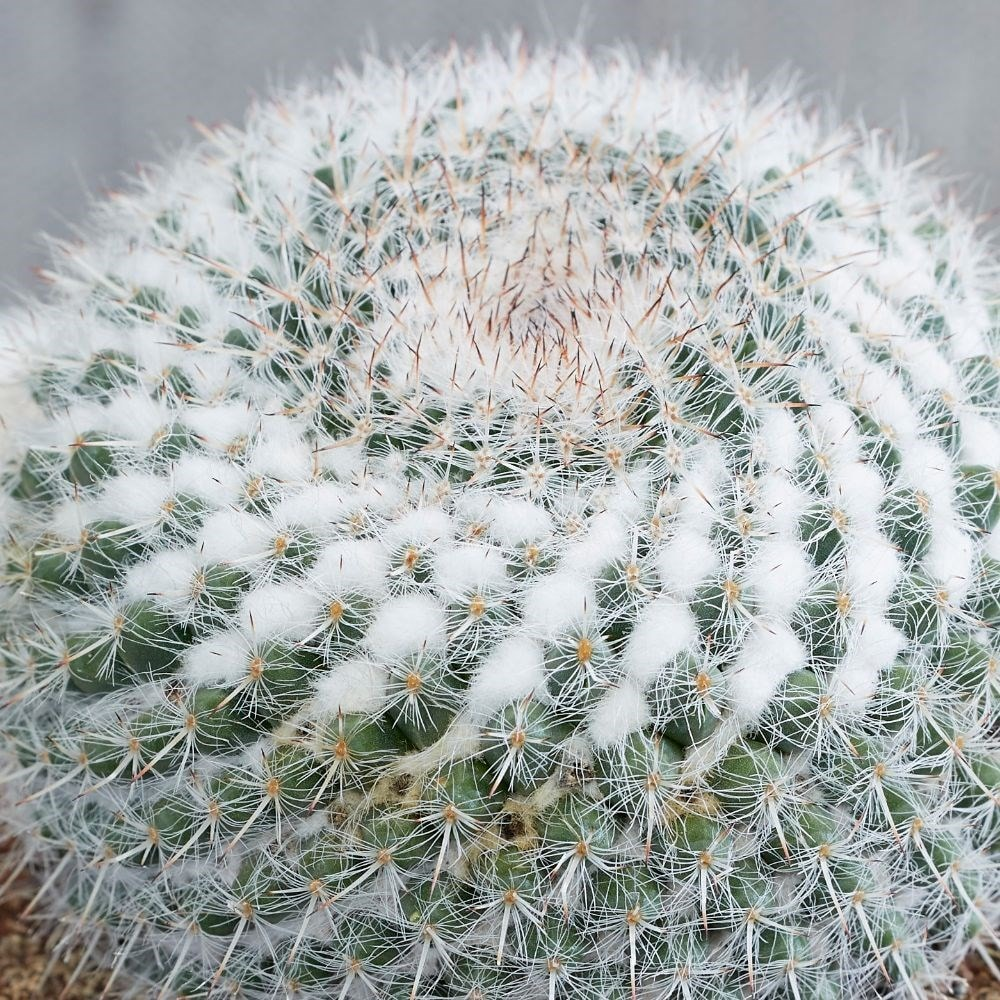 Buy Old Lady Cactus Mammillaria Hahniana Subs Woodsii 163 9
