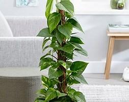 devils ivy (syn Scindapsus )