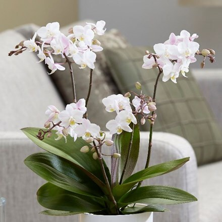 Phalaenopsis Blush Pink Willd Orchid