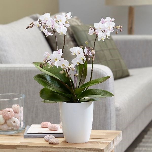 Buy moth orchid Phalaenopsis 'Blush Pink Willd Orchid': Delivery by Orchid Bright Kitchen Ideas on bright home ideas, bright business ideas, rv parking ideas, bright colorful kitchen cabinets, bright painting ideas, bright kitchen colors, bright hallway ideas, bright light in face, vaulted ceilings ideas, bright porch ideas, bright kitchen schemes, bright painted kitchen cabinets, bright blue kitchen, bright sunroom ideas, bright kitchen backsplash, bright red backsplash, bright traditional kitchen, bright kitchen art, bright kitchen themes, bright garden ideas,