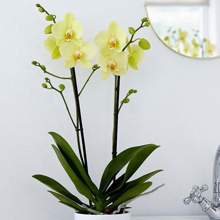 Phalaenopsis grandiflorum Alassio