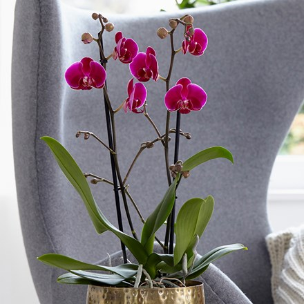 Phalaenopsis grandiflorum Rio Grande