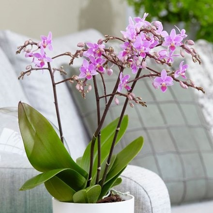 Phalaenopsis Pink Willd Orchid