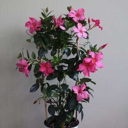 Mandevilla Fuchsia Flammé (Diamantina® series)