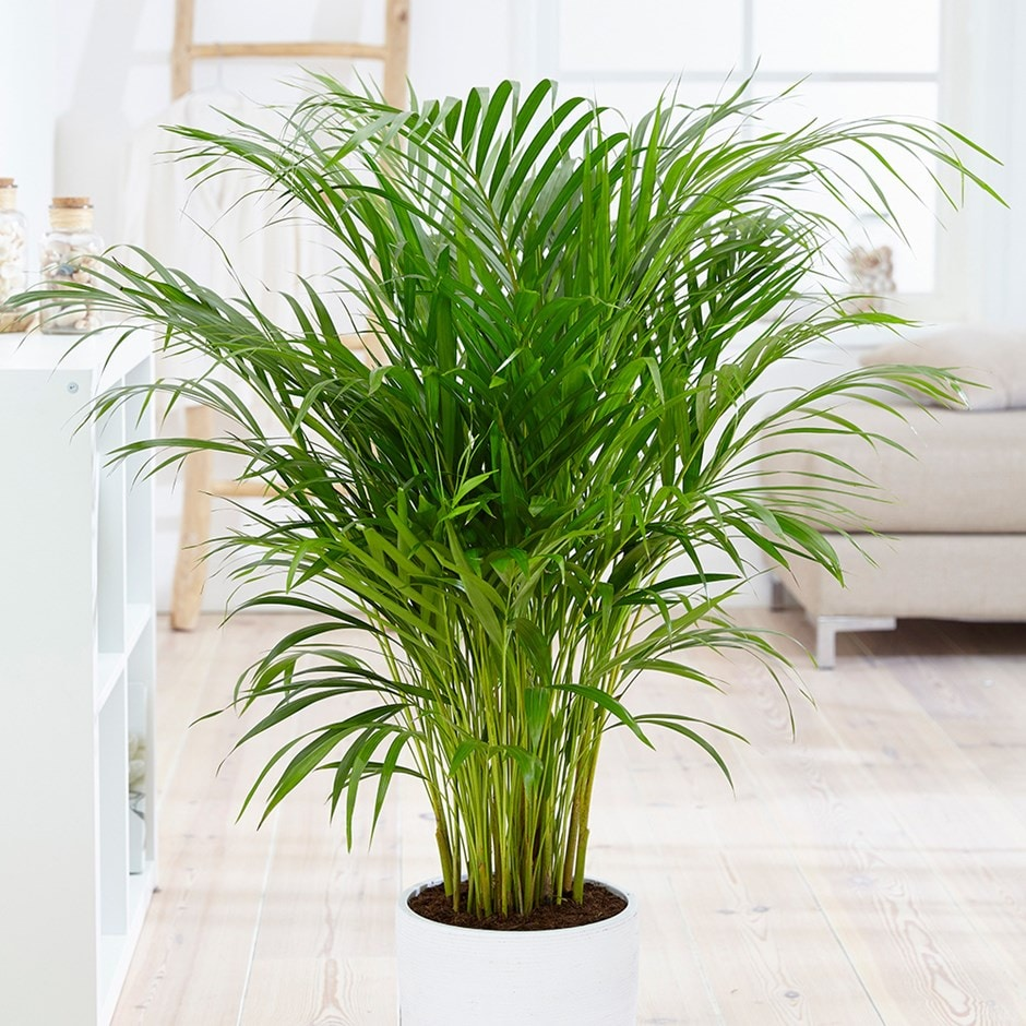 Buy areca palm bamboo palm dypsis lutescens for Pictures of areca palm plants